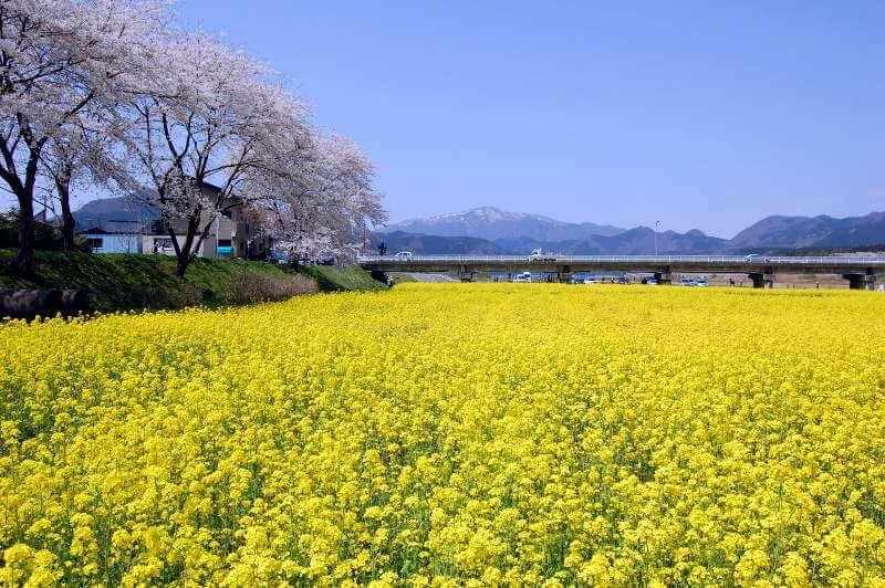 川渡温泉・河川敷の菜の花畑