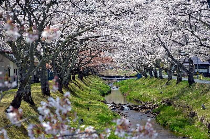 川渡温泉・湯沢川の桜並木